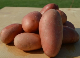 cartofi bucovina