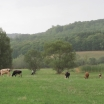 cireada vaci