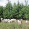 turma capre