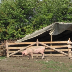 porc bucovina